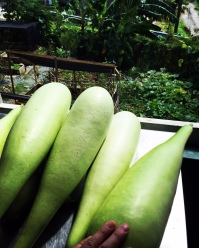 Bottle Gourds aka Sweet Go